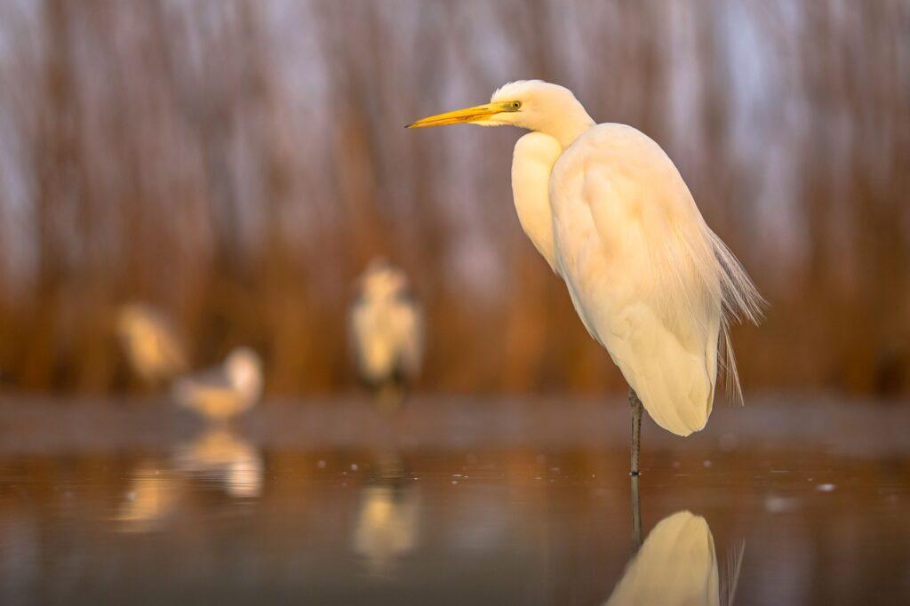 Witte reiger zittend in het water